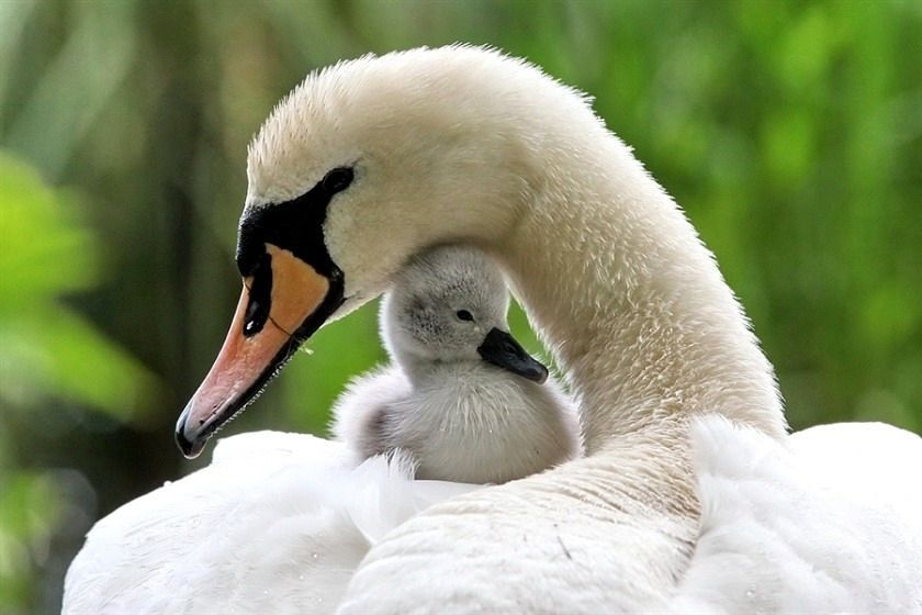 Mama and baby swan, Getting the inspiration from Mr, Joe Pilates. He was observing the nature movements in order to created the system.